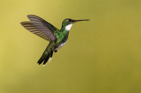A white-throated hummingbird photographed in the Misiones province of Argentina