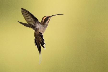 A scale-throated hermit photographed in the Misiones province of Argentina