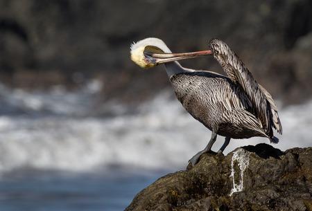 a brown pelican grooming its wings Banco de Imagens