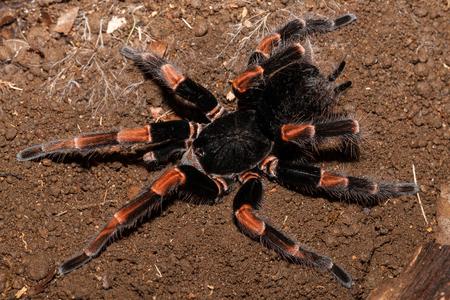 costa rican red legged tarantula Stockfoto