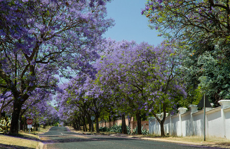 jacaranda trees blooming in a street of Johannesburg Archivio Fotografico - 106356415