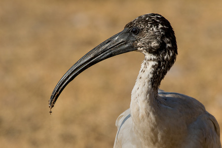 Portrait of african sacred ibis