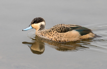 A hottentot teal photographed in South Africa