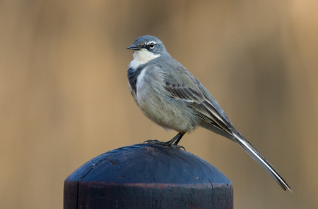 A cape wagtail photographed in South Africa