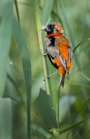 A perched red bishop photographed in South Africa