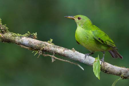 A female green honeycreeper