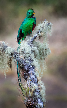 A male resplendent quetzal photographed in Costa Rica