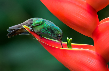A rufous tailed hummingbird drinking from a red flower