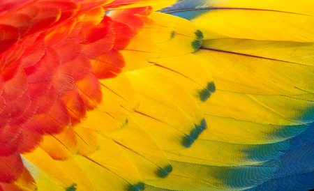Texture of the colorful feathers of a macaw