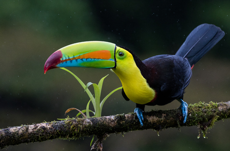 A perched keel billed toucan photographed in Costa Rica