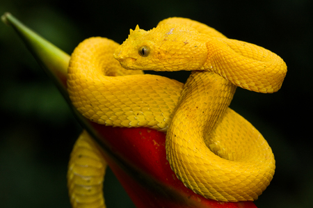 A yellow eyelash pit viper photographed in Costa Rica