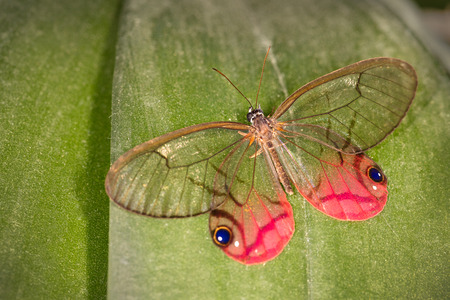 A blushing phantom clearwing satyr butterfly photographed in Costa Rica