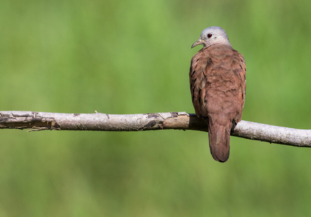 A perched male of ruddy ground dove 免版税图像