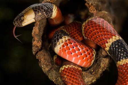 Una serpiente de coral de la costa rica