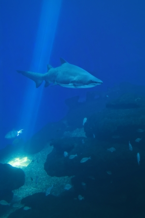 Shark swimming close to the seabed photo
