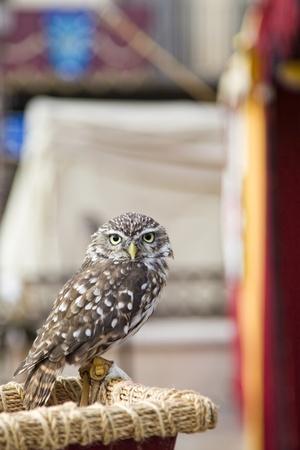 samll: Samll grey owl looking attentive
