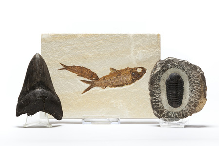 belonging: Fish fossil, trilobites and megaladon tooth belonging to a fossils collection
