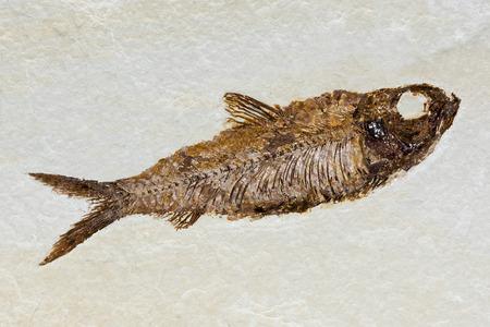 prehistoric fish: Prehistoric fish fossil preserved in sandstone