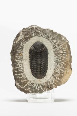 devonian: Prehistoric fossilized trilobite in the stone matrix on a white background