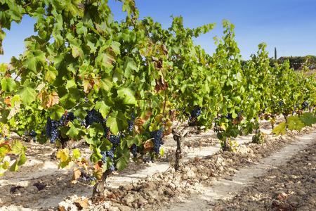 Ripe wine grapes in vineyard