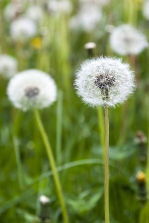 Detail of dandelion in a dandelion field Stock Photo
