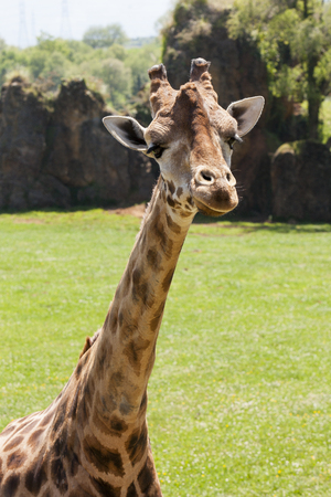 Close view of giraffes neck and head Stock Photo