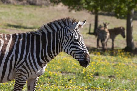 Zebra in a park