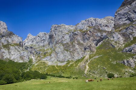Group of cows at the foothills of the Picos de Europa