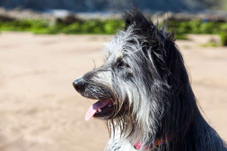 Side view of hairy black and white dog, with its tongue out