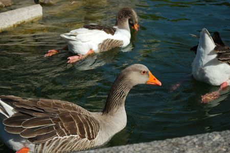 hatched: Ducks Swimming in a Artificial Lake