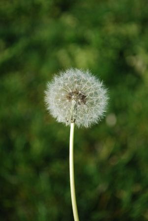 Dandelion with Grass Background Stock Photo - 4693116
