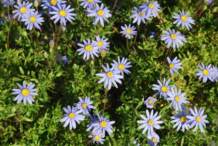 Beautiful Purple Daisys Stock Photo - 4693201