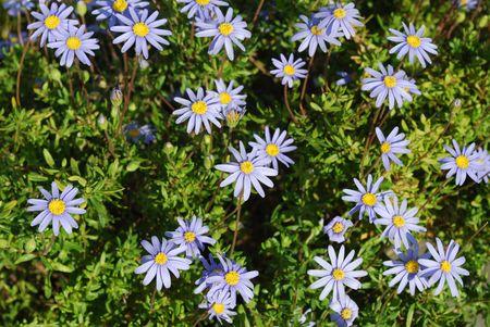 Beautiful Purple Daisys Stock Photo - 4693201