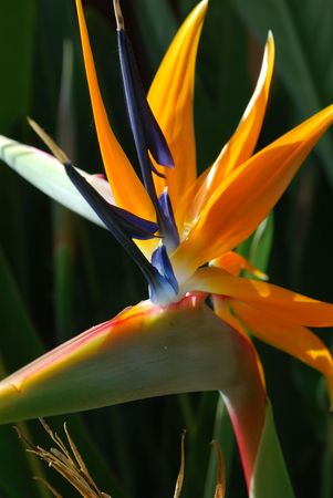 also known as Bird of Paradise photo