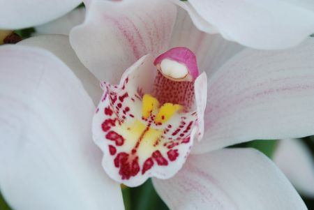 pink and white orchid (close up) Stock Photo - 4777824
