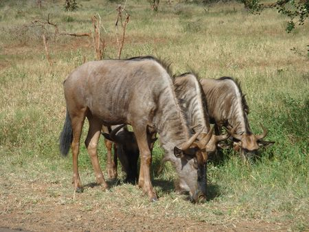 herbivore: Wildebeests herbivore at Kruger Park, South Africa