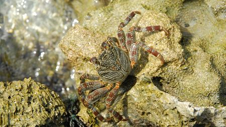 beautiful and colorful crab walking on a coral reef stone photo
