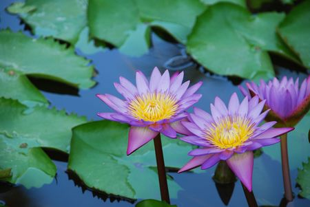 beautiful closeup photo of purple waterlilies in a small pond photo