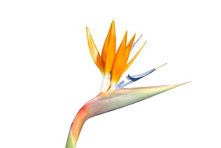 birds of paradise: close up photo of a bird of paradise flower (isolated)
