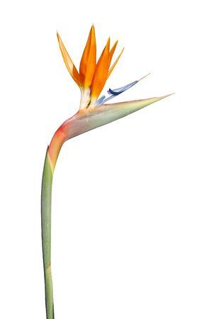 ave del paraiso: Close up foto de una flor de ave del para�so (aislada) Foto de archivo