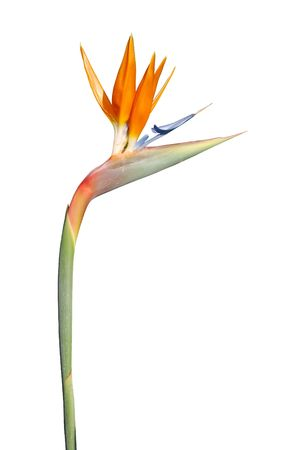 close up photo of a bird of paradise flower (isolated)