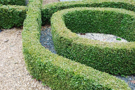 hedges: close-up on green and beautiful ornamental garden with hedges of buxus sempervirens
