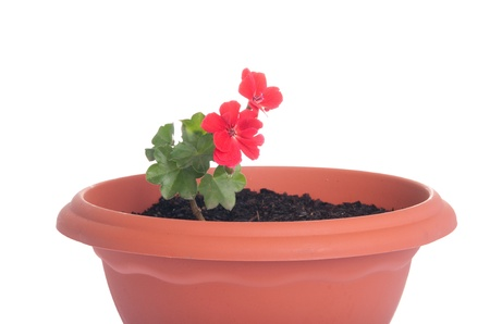 red geranium flowers in a pot isolated on white background photo