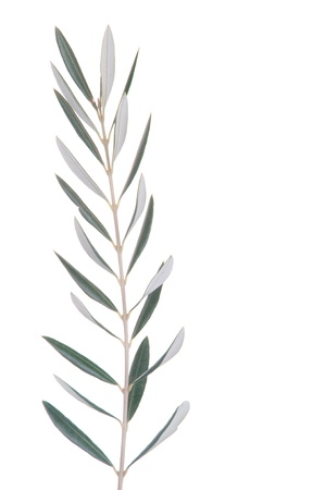 green olive tree branch isolated on white background