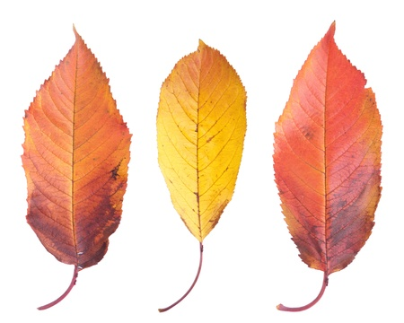 three gorgeous cherry tree leafs isolated on white background photo