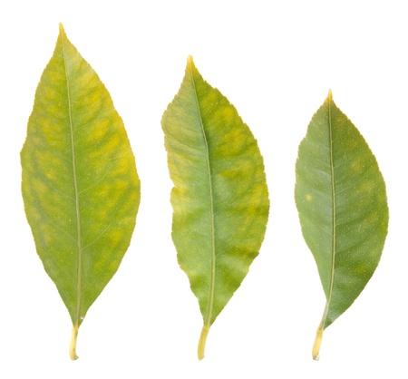 three gorgeous lemon tree leafs isolated on white background Stock Photo - 8682379