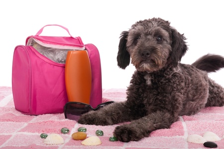 sun lotion: cute shipoo dog lying at the beach (studio setting with bag, sun lotion, pink towel and little pebbles) isolated on white background
