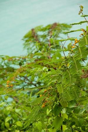 Mimosa (Acacia Dealbata), evergreen shrub at a lagoon (Antigua, Caribbean) photo