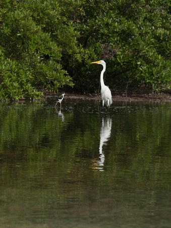 grey heron: white Great Egret (Ardea alba) bird in a tropical lake (wildlife scenery) in Antigua, Caribbean