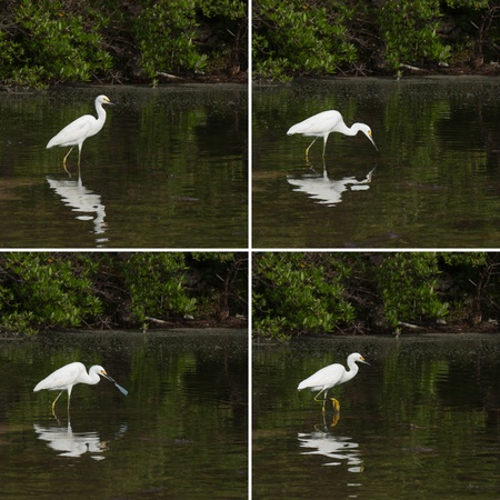 sequential: sequential pictures of a white Heron bird in a tropical lake fishing (not successful) in Antigua, Caribbean